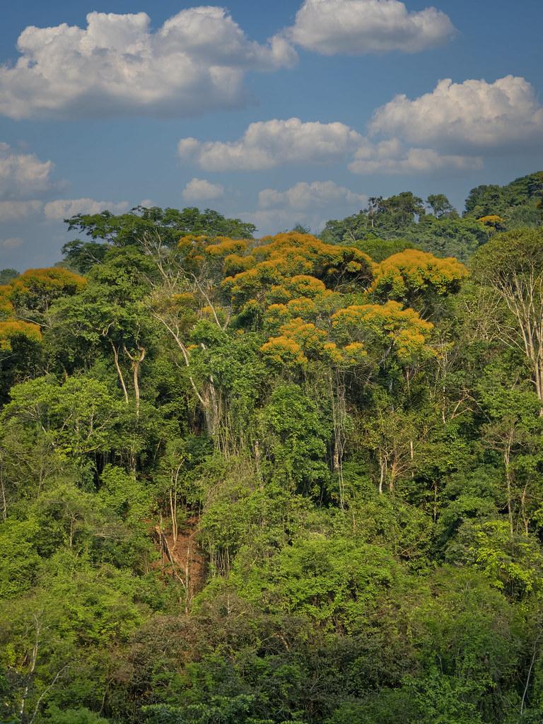 Les arbres jaunes d'un coin de jungle... 50710345932_c81187a33a_b
