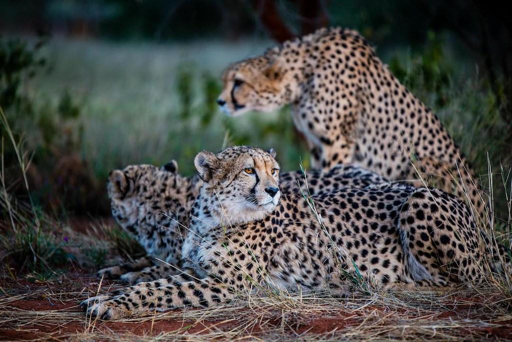 International Cheetah Day 2020