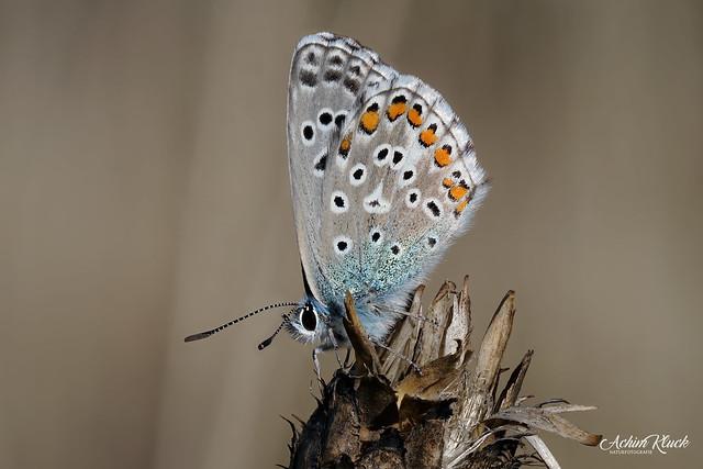 Dieser Himmelblaue Bläuling (Polyommatus bellargus) hatte den Sonnenaufgang total verschlafen