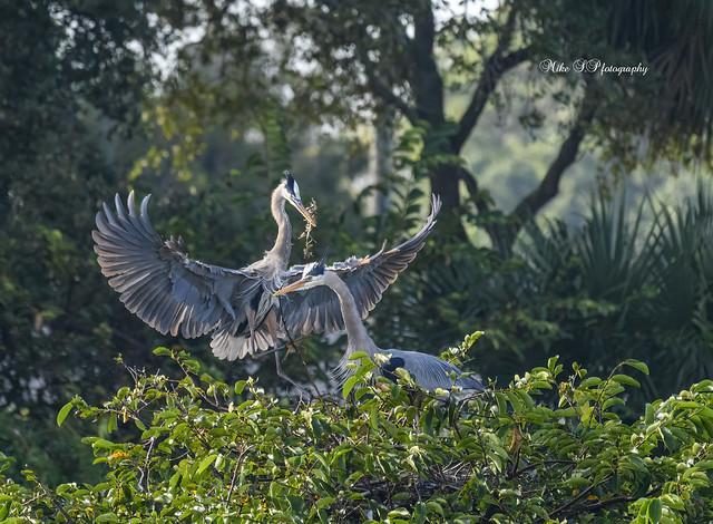 Great Blue Herons family,spring worries