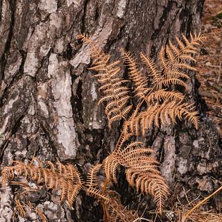 Bracken with pine tree 1058_001 sqcrop