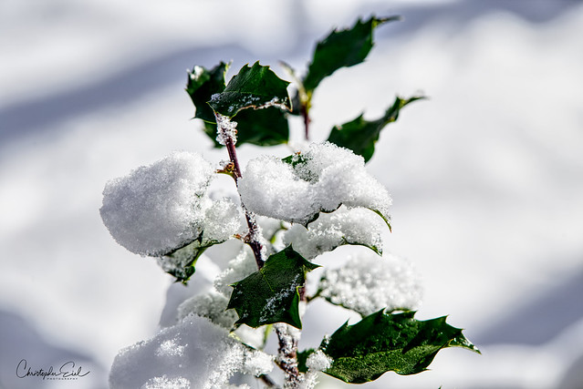 Holly covered with snow.