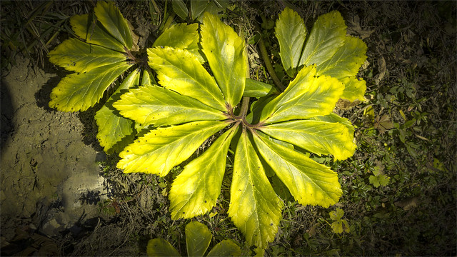 _DSC30819 A leaf of the Christmas Rose on the hike to Mt. Vormauerstein / Upper-Austria