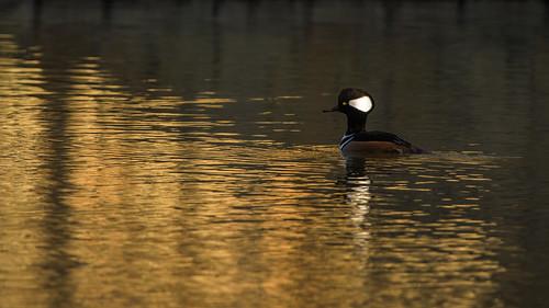 hoodedmerganser coppell texas ducks fall2020 sunrise landscape nature birds