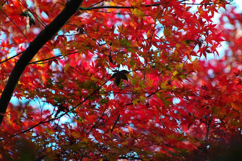 35Leica M9 P+Jupiter 9西池袋四丁目谷端川緑道の紅葉