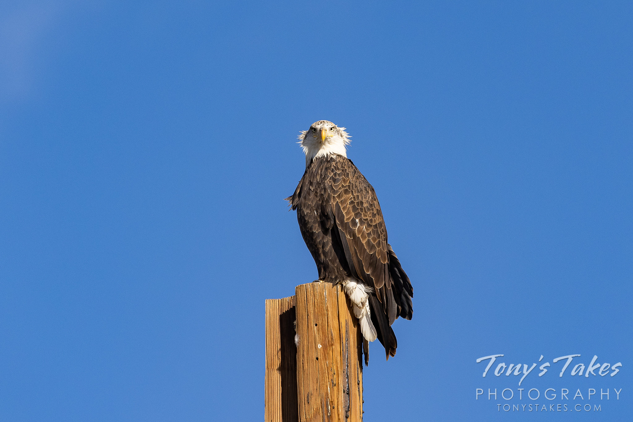 A bald eagle gets its head feathers ruffled by the wind. (Tony's Takes)