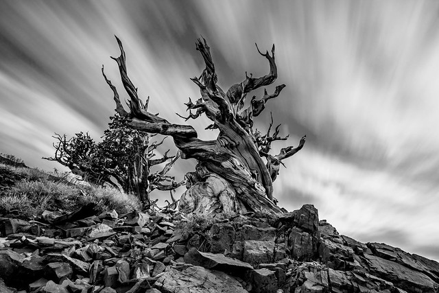 Ancient Sentinel Stands Guard on The Edge of The Bristlecone Pine Forest