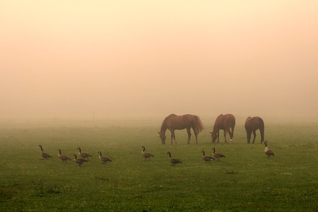 Horses and geese on a foggy morning