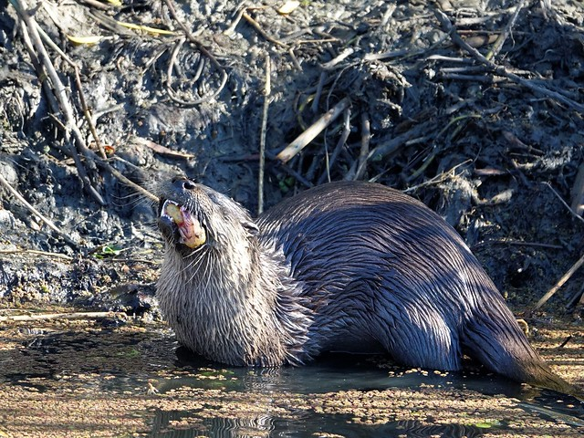 North American River Otter gets a tasty fish-Yolo Bypass (4)