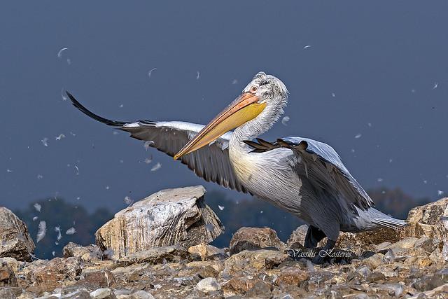 Pelecanus crispus, Αργυροπελεκάνος, Dalmatian Pelican
