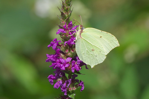 cambridgeshire waresleywood butterfly insect nature wild wildlife brimstone gonepteryxrhamni purpleloosestrife