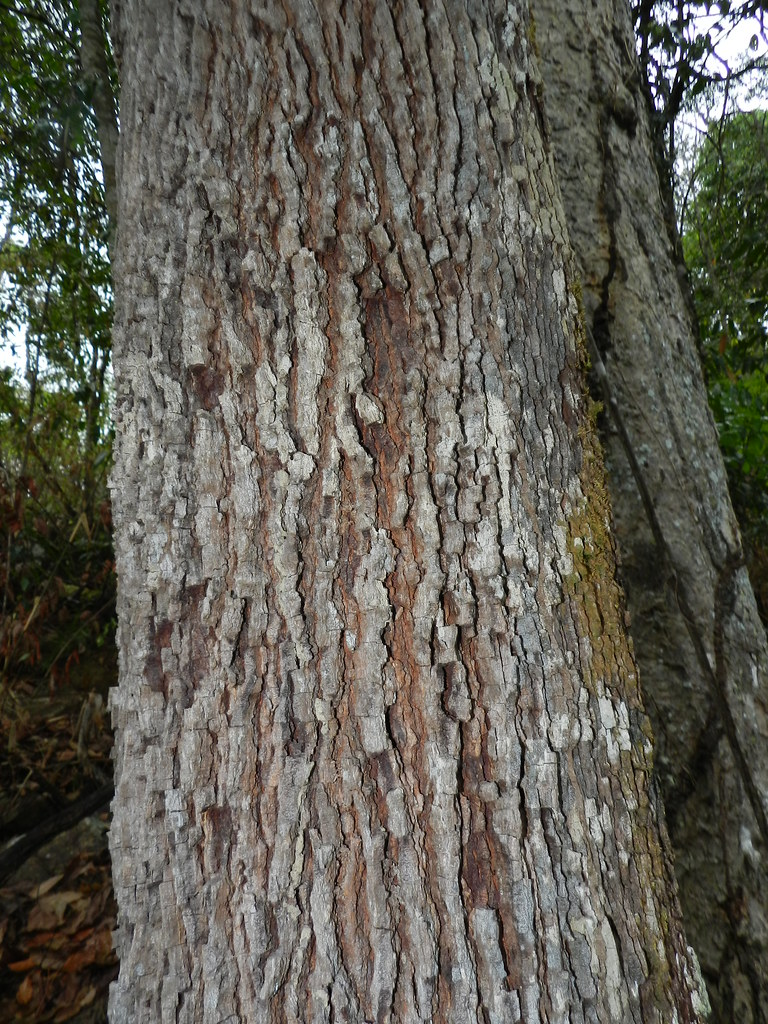 Copaifera langsdorffii Desf.