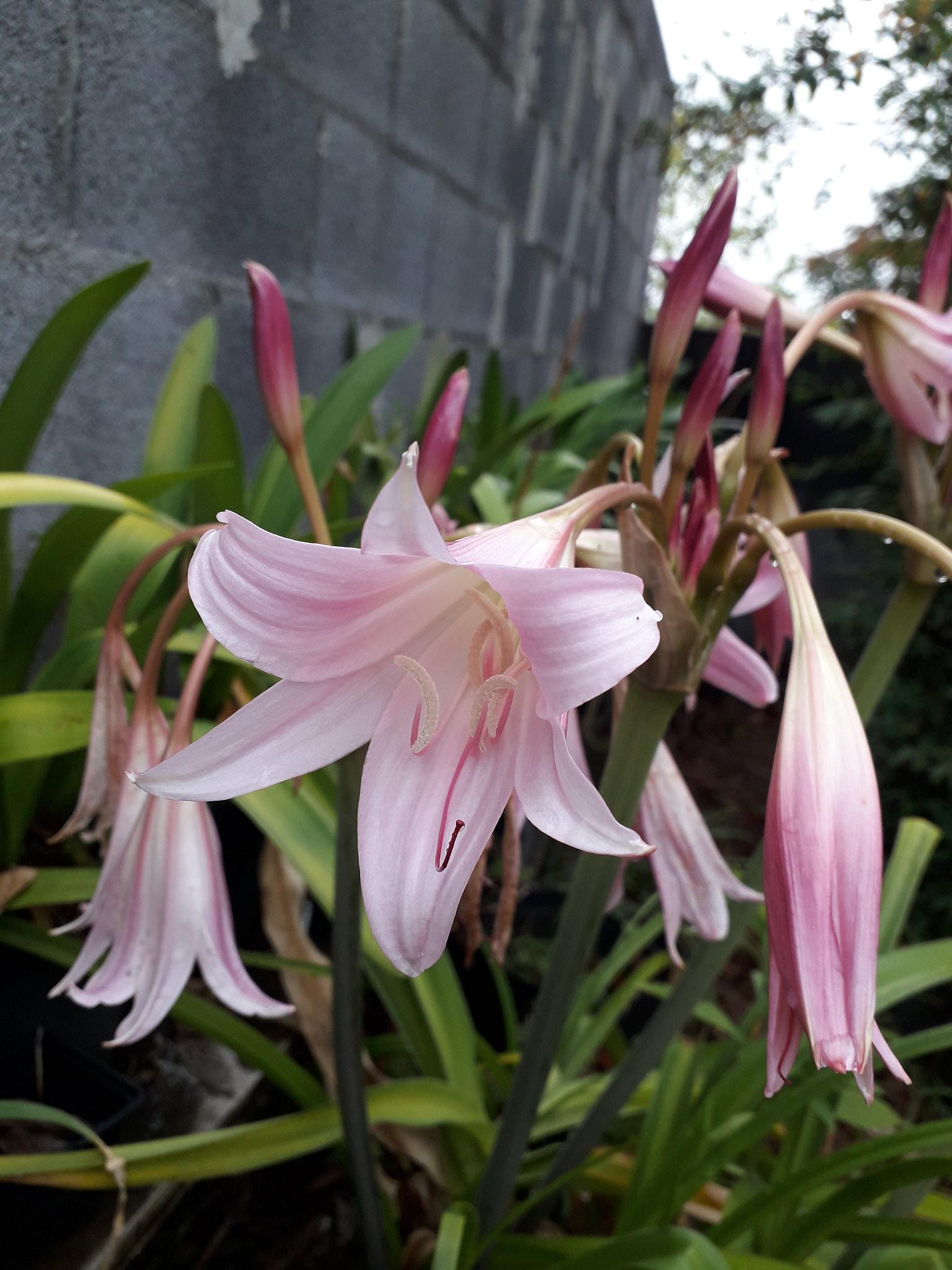 Quelques floraisons du jardin... 50714991826_7e8b075c95_k