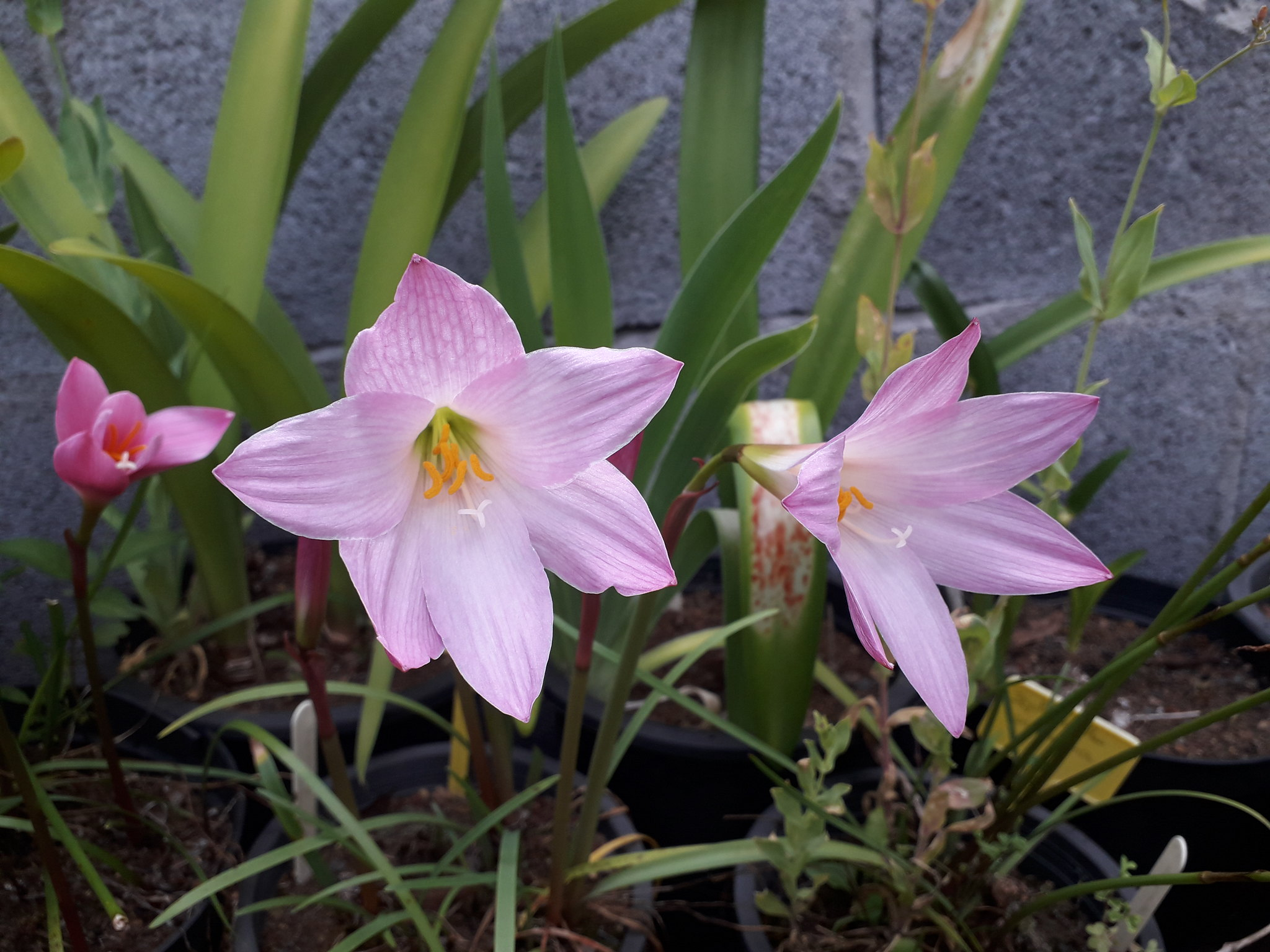 Quelques floraisons du jardin... 50715047857_8c6d248519_k