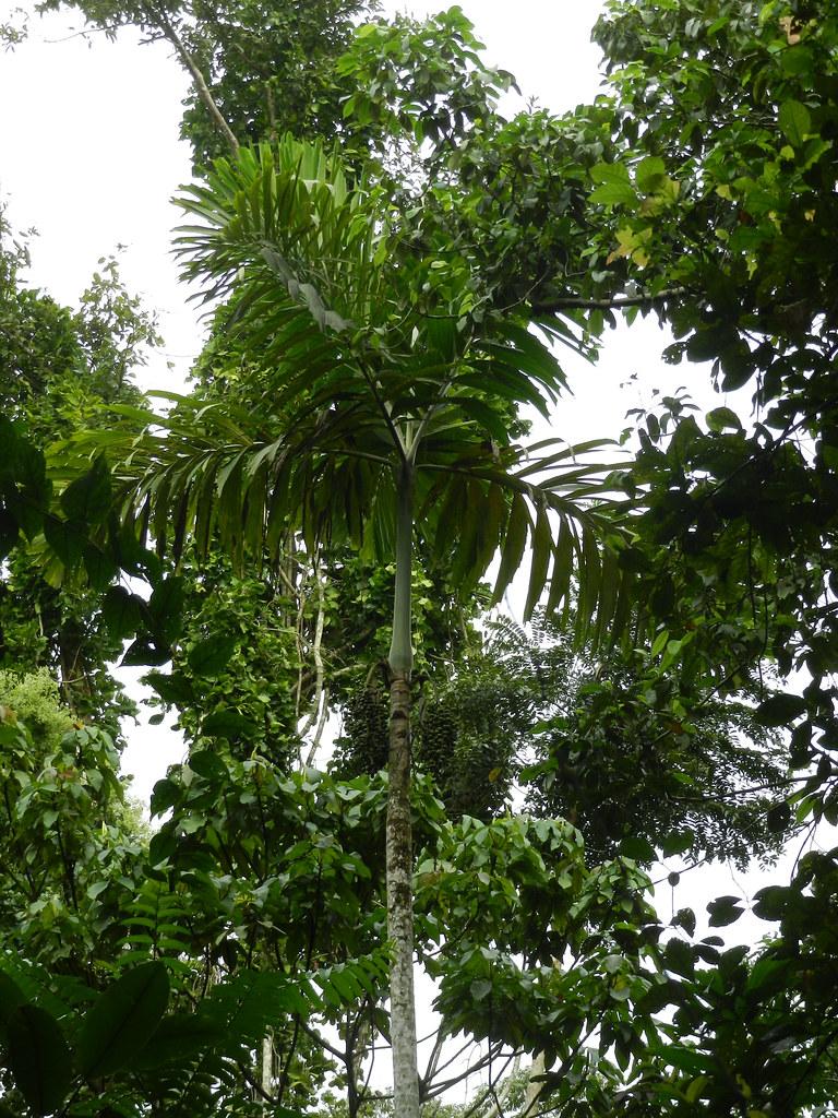 Socratea exorrhiza (Mart.) H.Wendl
