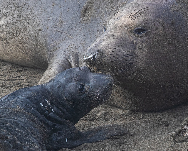 Northern Elephant Seal---Mirounga angustirostris