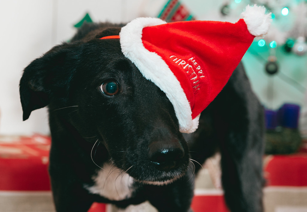 Puppy dog is wearing a Christmas hat