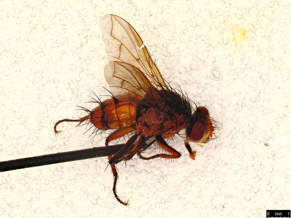 3a - Tachinidae sp.
