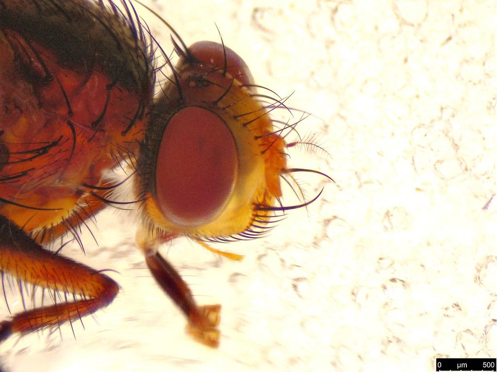3c - Tachinidae sp.