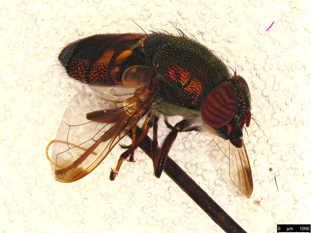 8a - Stomorhina discolor (Fabricius, 1794)