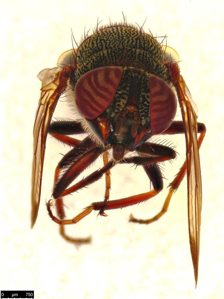 8b - Stomorhina discolor (Fabricius, 1794)