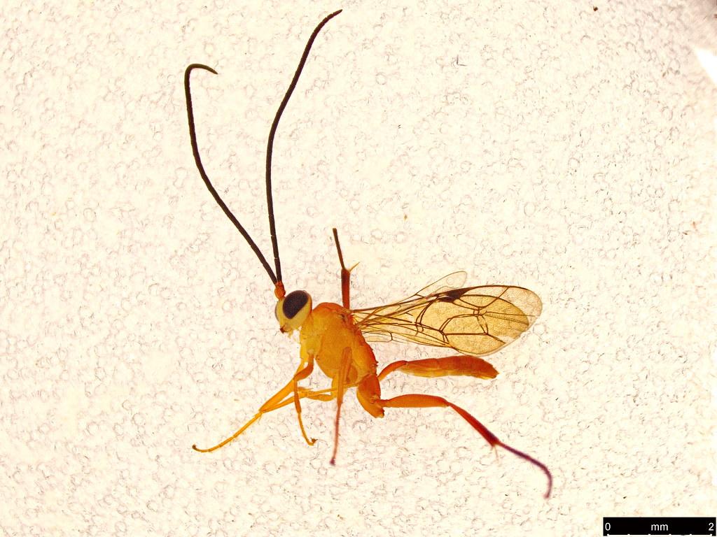 17 - Hymenoptera sp.