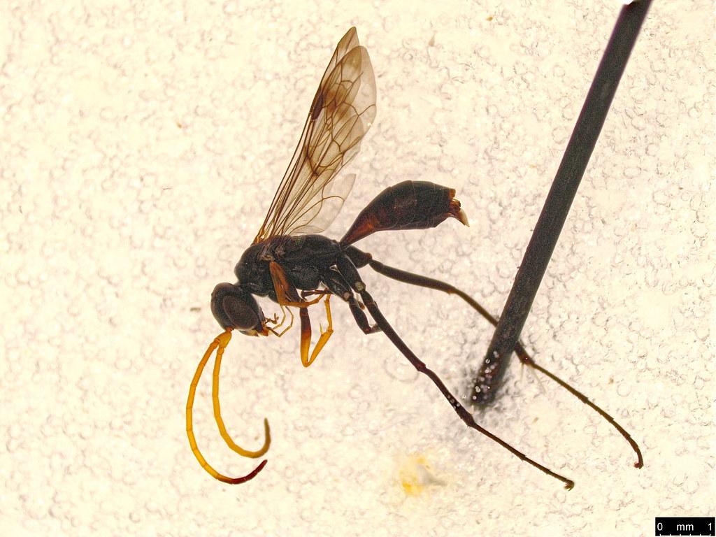 19 - Hymenoptera sp.
