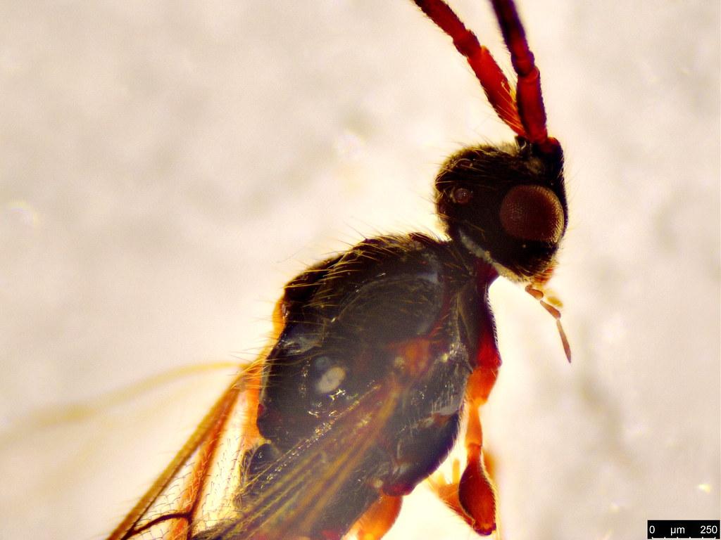 22b - Belytinae sp.