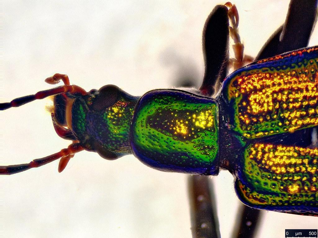 26c - Lepturidea viridis (Boisduval, 1835)