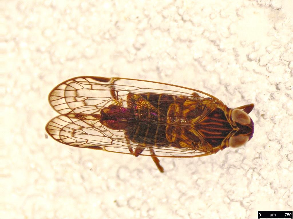 34b - Cixiidae sp.