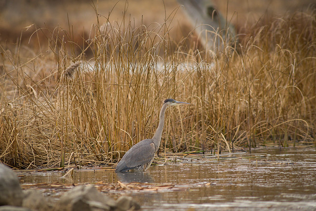 Juvenile Great Blue Heron | Mastering the Marsh