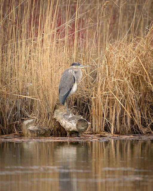 Great Blue Heron | Motionless