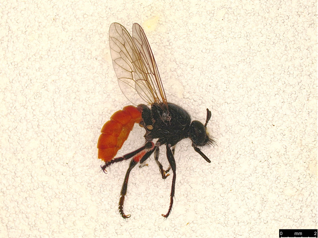 1a - Laphria sp.