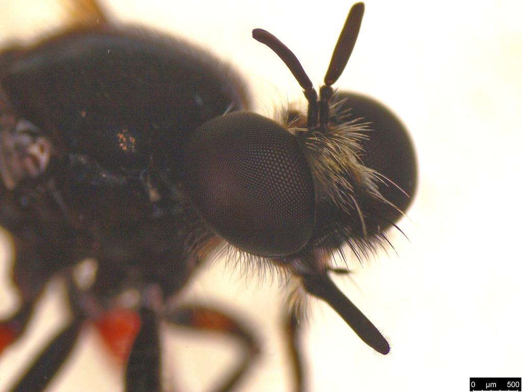 1d - Laphria sp.