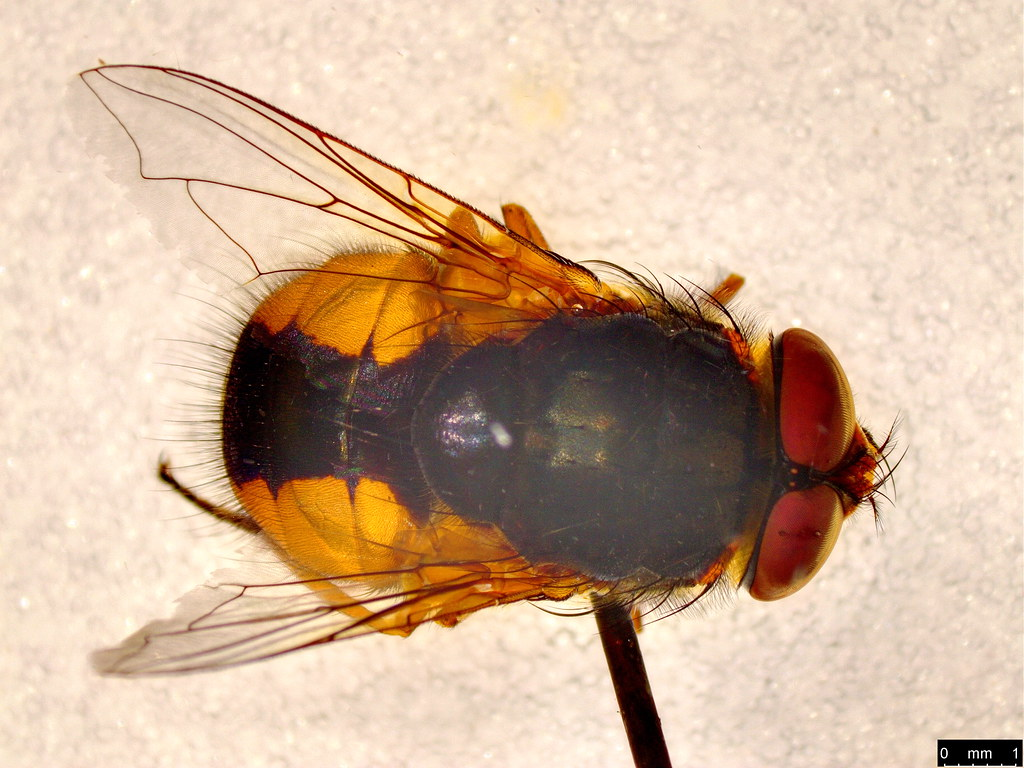 2b - Calliphoridae sp.