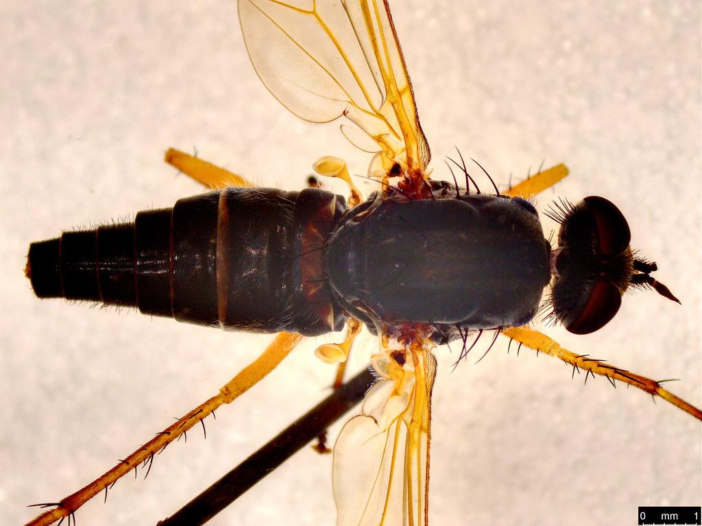 4b - Anabarhynchus kosciuskoenis Mann, 1933