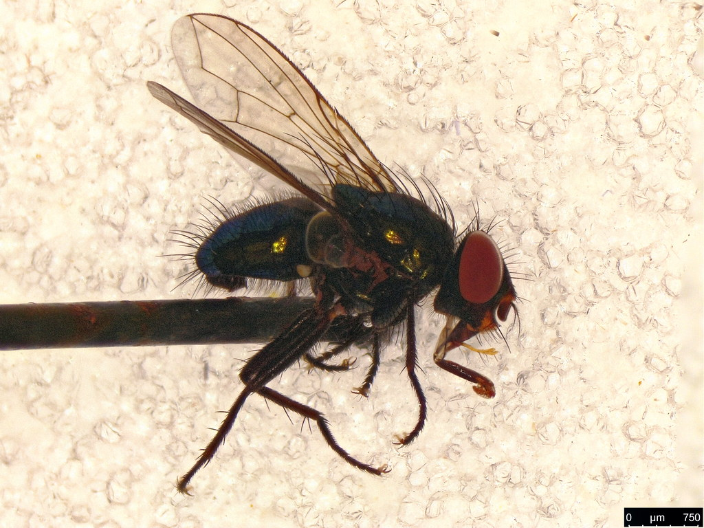6a - Calliphoridae sp.