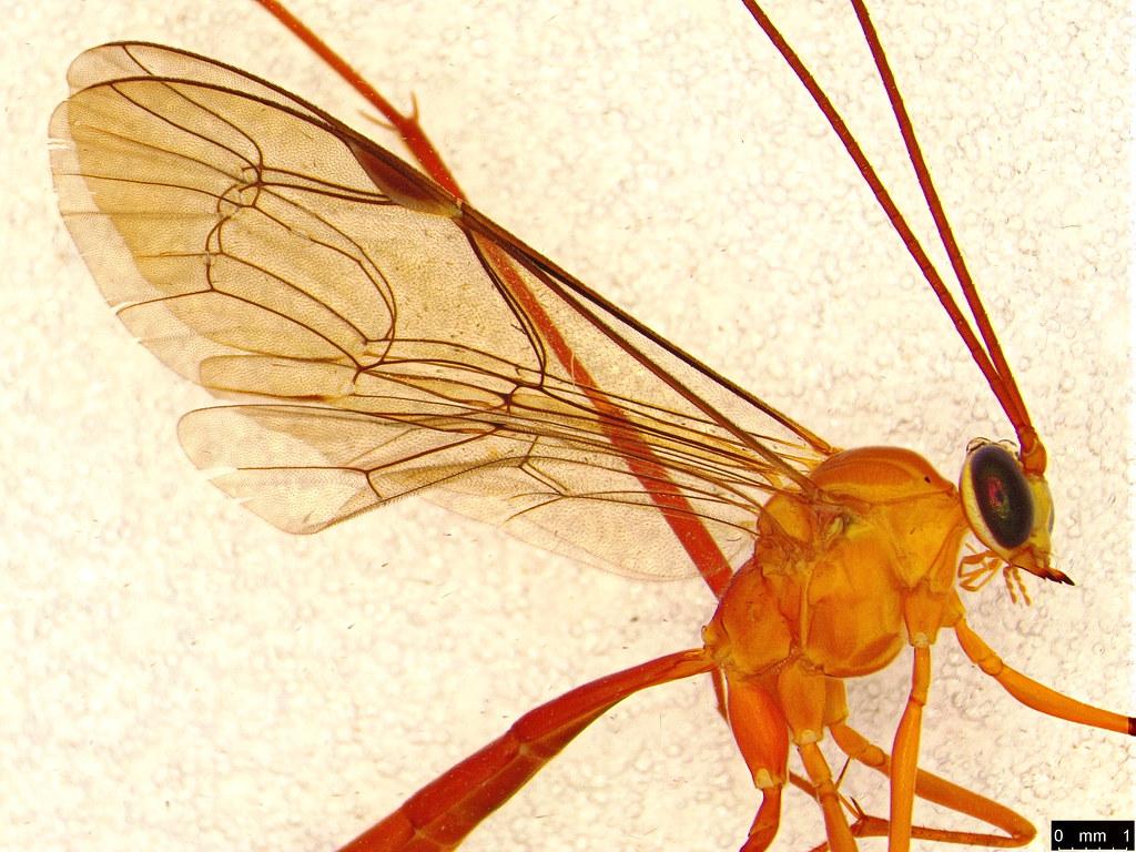16b - Hymenoptera sp.