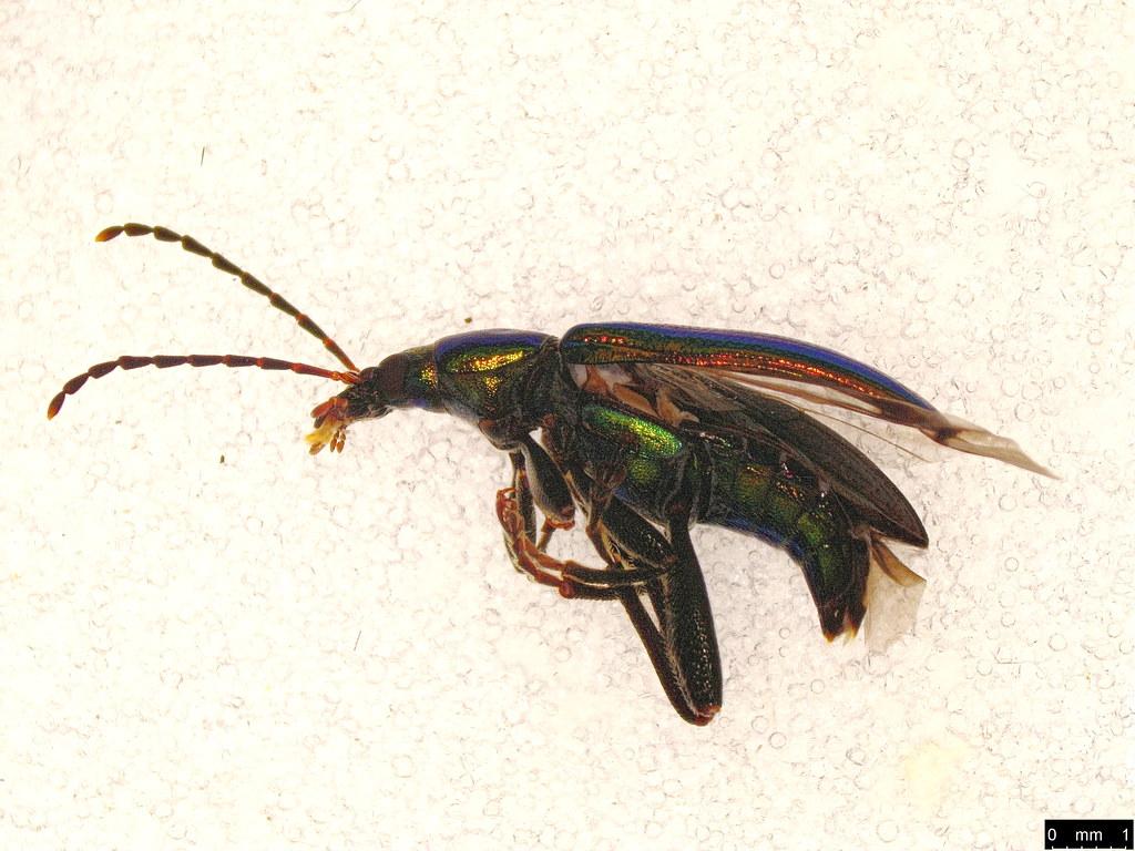 26a - Lepturidea viridis (Boisduval, 1835)
