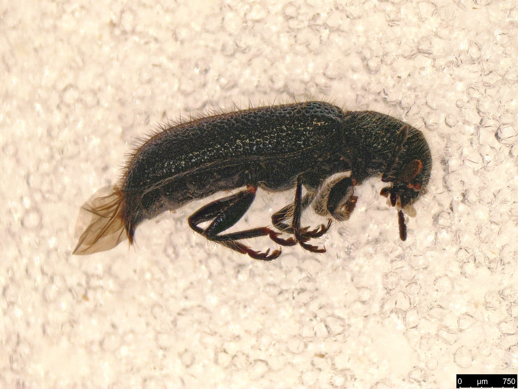 27b - Cleroidea sp.