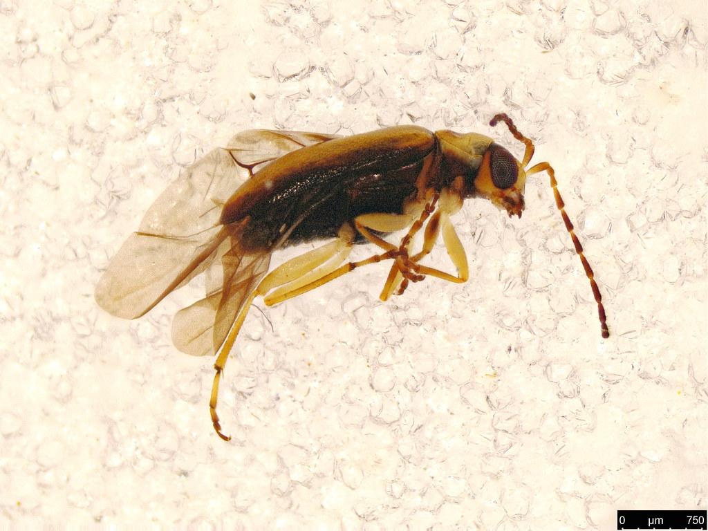 31 - Luperini sp.