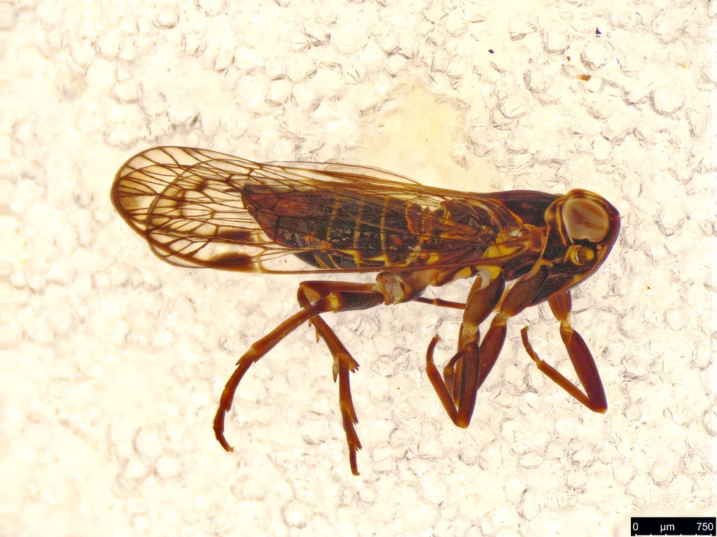 34a - Cixiidae sp.