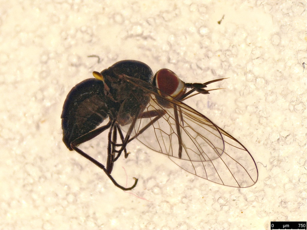 10a - Bombyliidae sp.