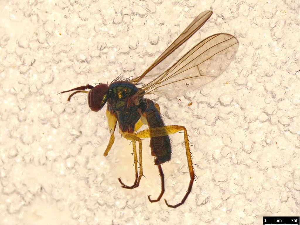 11 - Dolichopodidae sp.