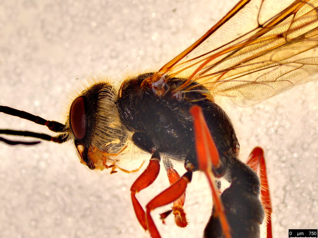 12b - Thynninae sp.