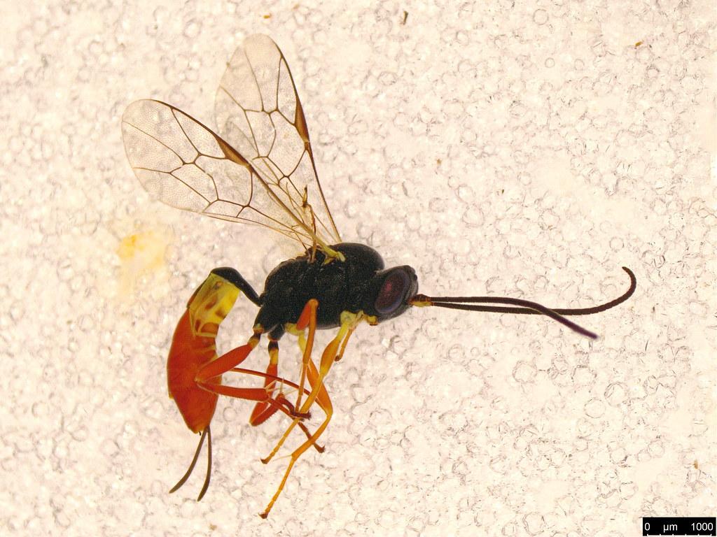 15 - Hymenoptera sp.