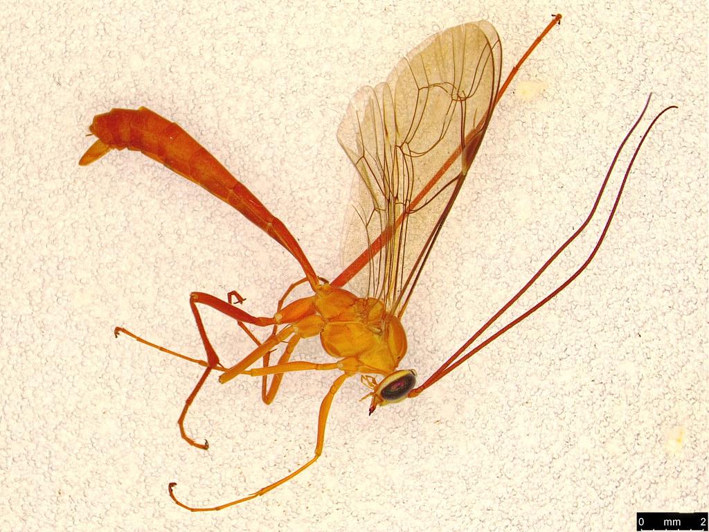 16a - Hymenoptera sp.