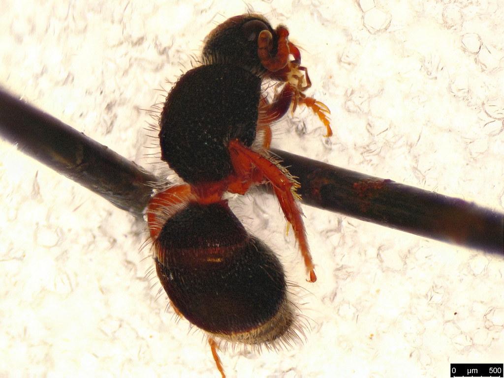 24b - Thynninae sp.