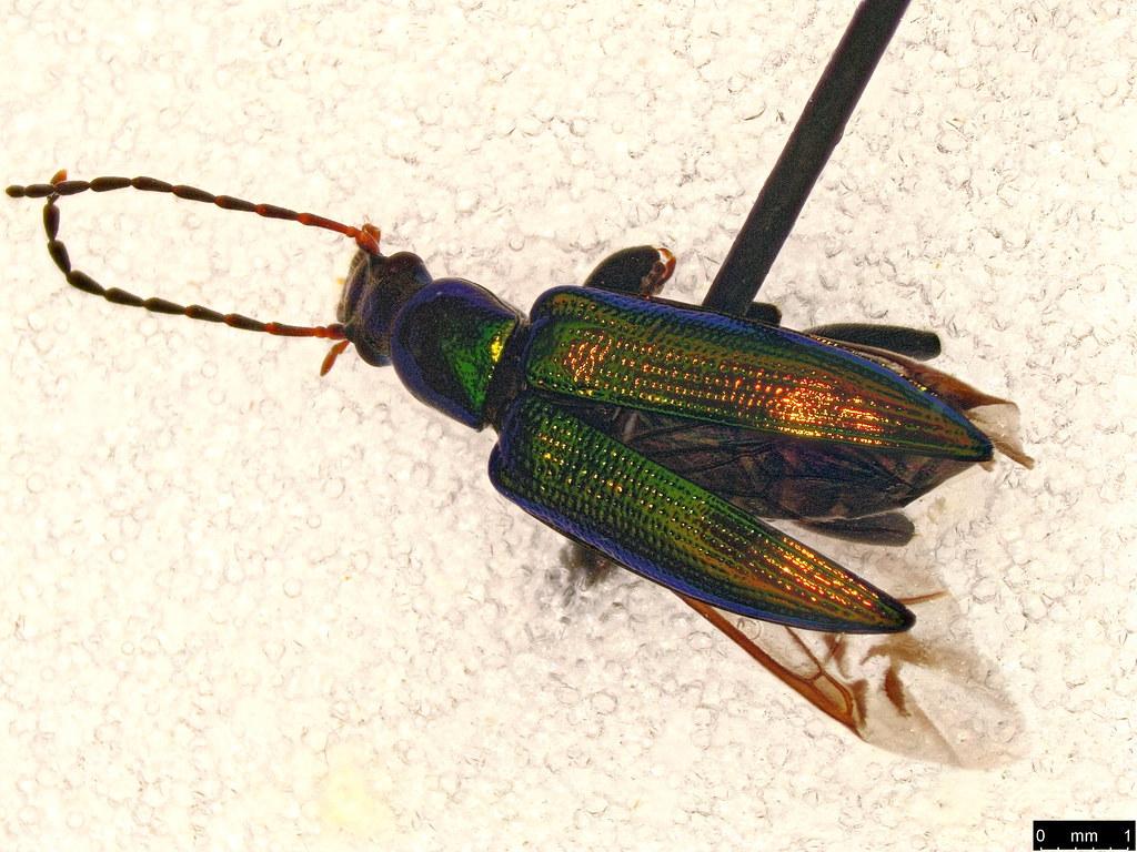 26b - Lepturidea viridis (Boisduval, 1835)