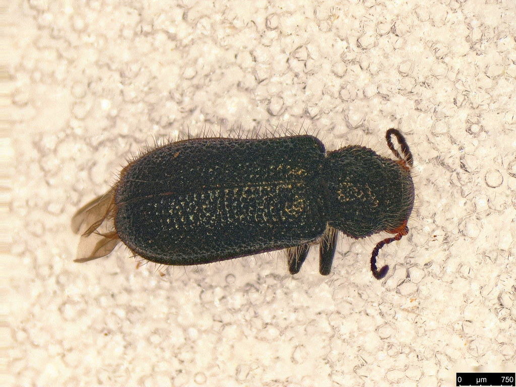 27a - Cleroidea sp.
